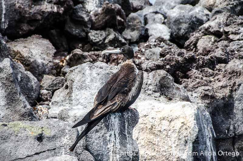 pájaro de cabeza negra, cuerpo marrón y largo pico horizontal