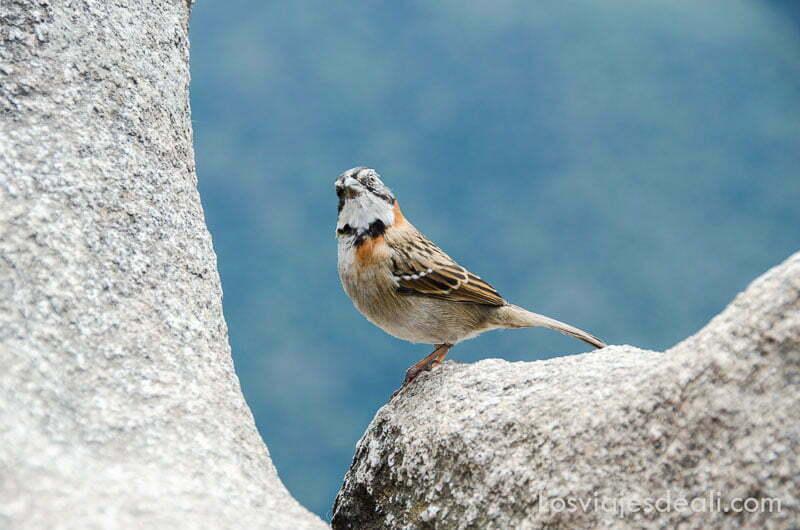 pájaro con plumas rojizas y beiges en cuello y pecho sobre una roca