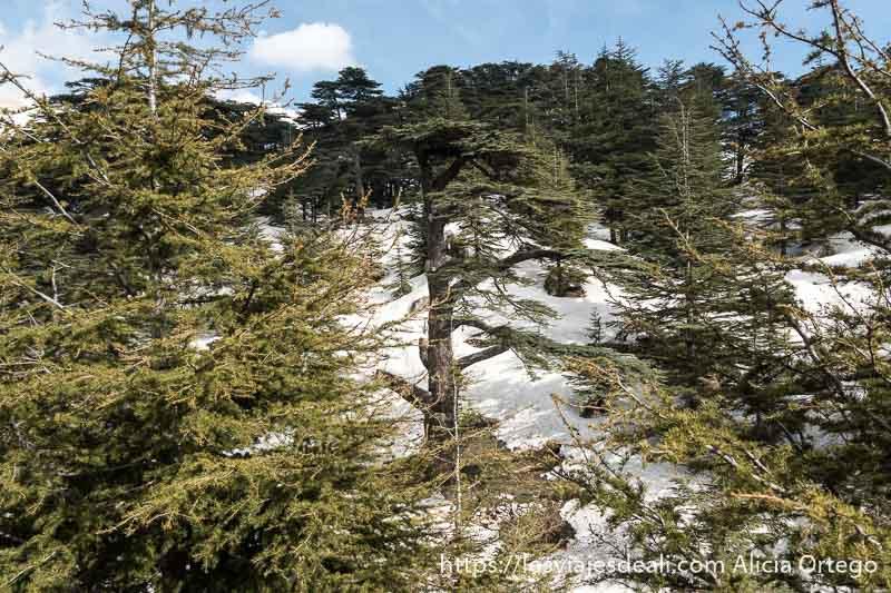 cedro en montaña nevada en líbano