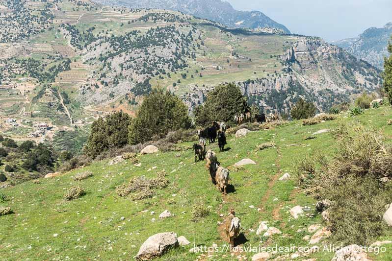 cabras subiendo la montaña verde en fila india