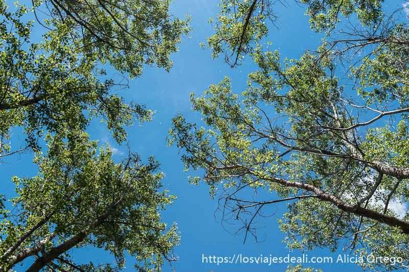 árboles muy altos vistos desde abajo