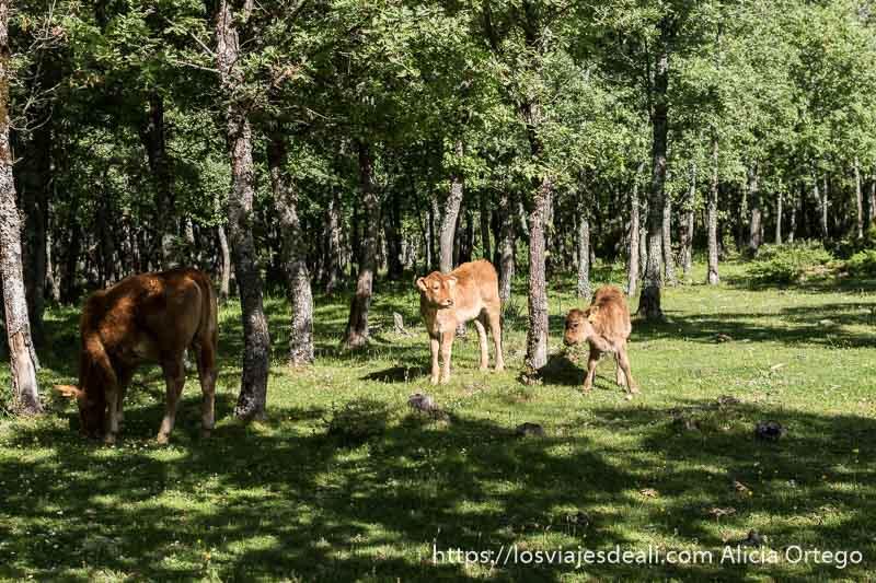dos terneros y una vaca en un prado con pinos