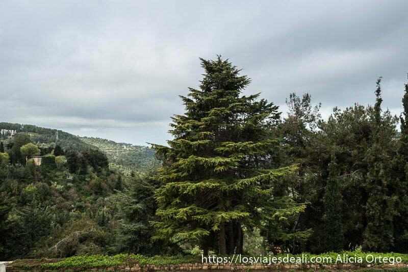 cedro verde con montañas al fondo y cielo nublado en beiteddine