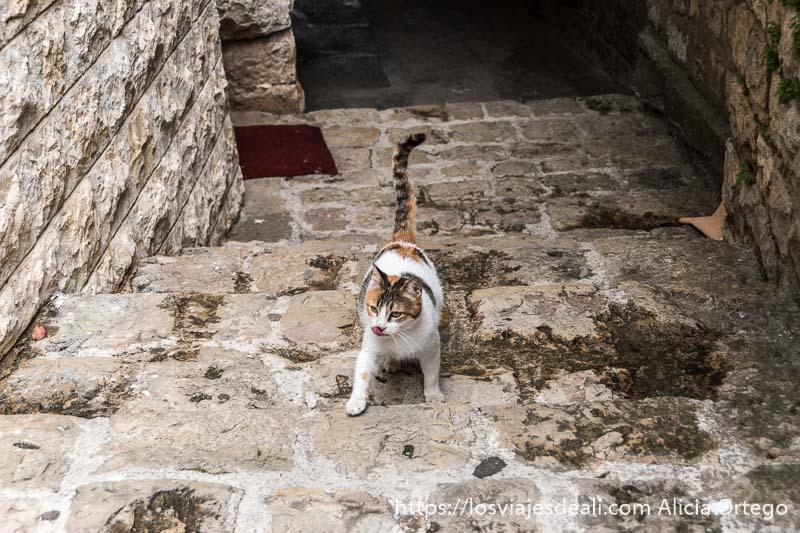 gato relamiéndose mientras sube escaleras de piedra con la cola en alto