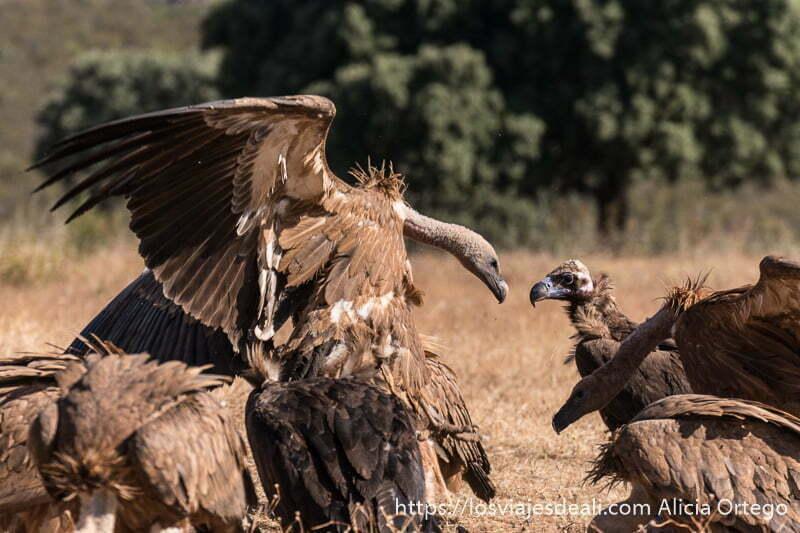 escena de pelea de buitres uno saltando con alas abiertas sobre el otro en la experiencia para fotografiar buitres en extremadura