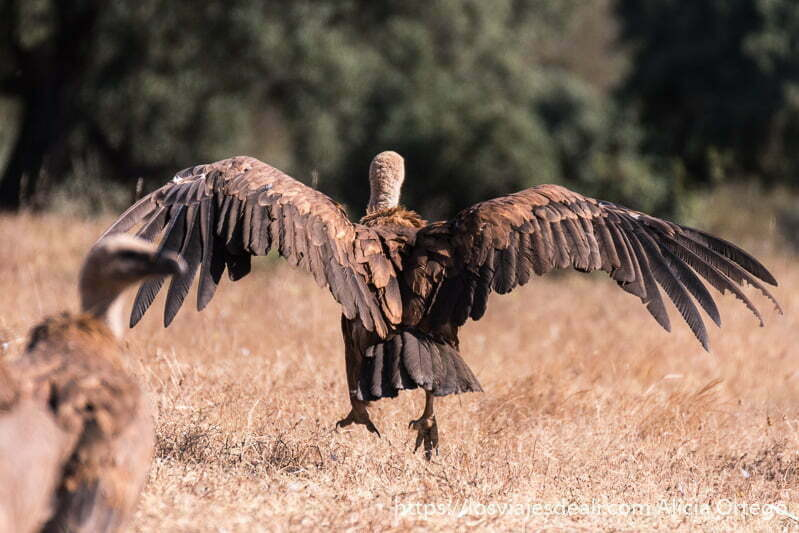 buitre con alas abiertas y saltando en el aire para echar a volar