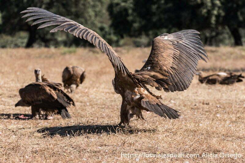 buitre aterrizando en el suelo con sus grandes alas abiertas fotografiando buitres