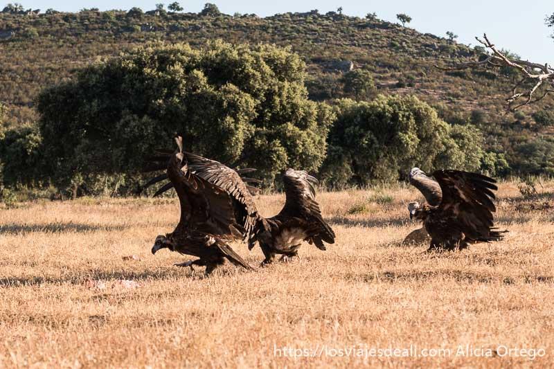 tres buitres negros recién aterrizados en el campo van a por los trozos de carne. Foto hecha en la experiencia de fotografiar buitres