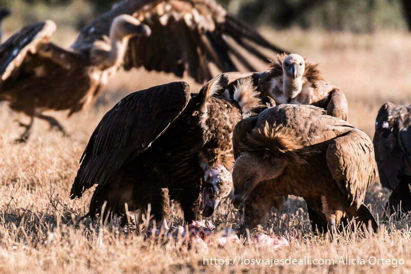 fotografiar buitres comiendo
