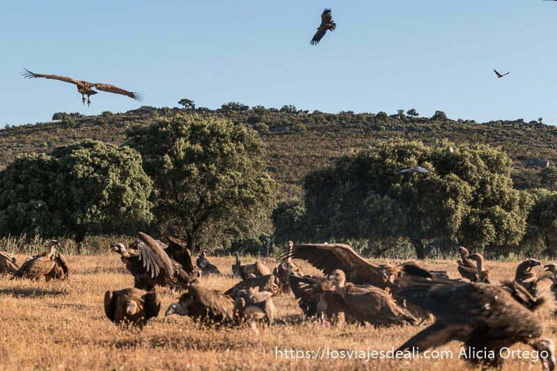 muchos buitres en un campo y tres más volando con las alas abiertas en la experiencia de fotografiar buitres en extremadura