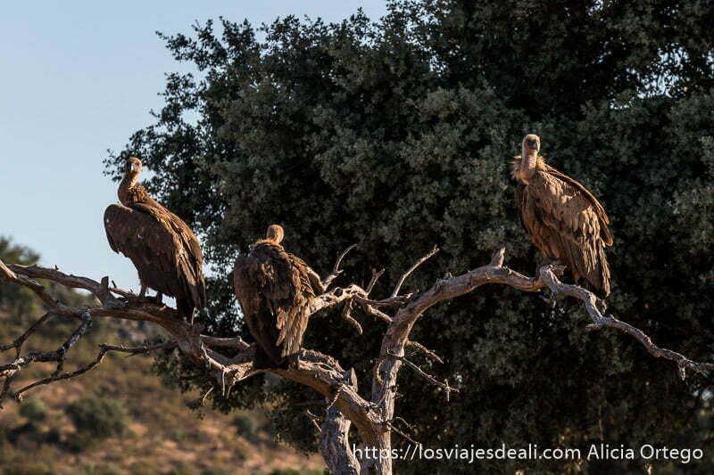 tres buitres leonados subidos a las ramas de un árbol seco