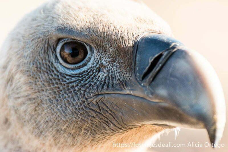 ojo de buitre de color azulado en la sesión fotografiando buitres en extremadura