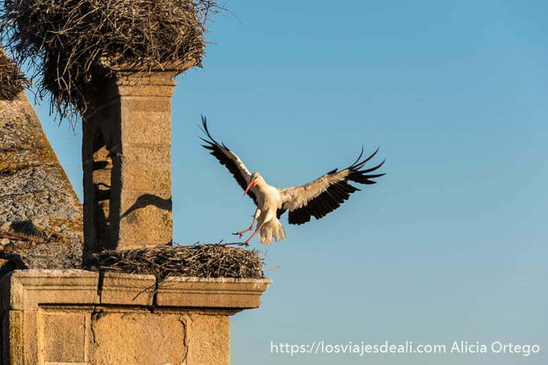 cigüeña a punto de posarse en el nido junto al campanario con las alas abiertas escapada a cáceres