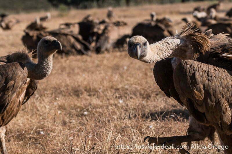 dos buitres mirando hacia la cámara y detrás un grupo comiendo en la sesión para fotografiar buitres en extremadura