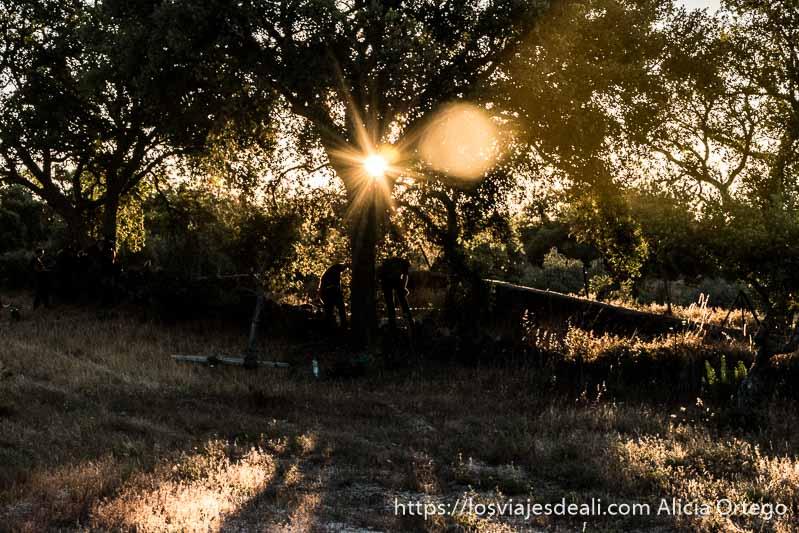 sol entrando entre las ramas de un alcornoque donde dos hombres trabajan en la saca del corcho