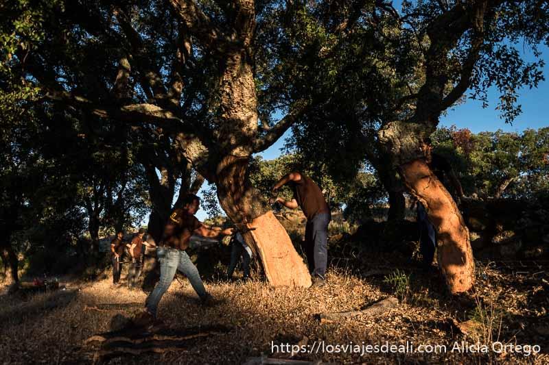 hombres quitando corteza a un alcornoque con luz del amanecer en la escapada a cáceres