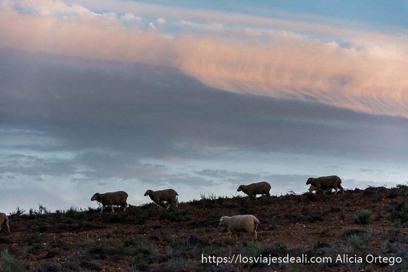 ovejas recortándose en el horizonte bajo nubes coloreadas de rosa por el atardecer escapada a cáceres