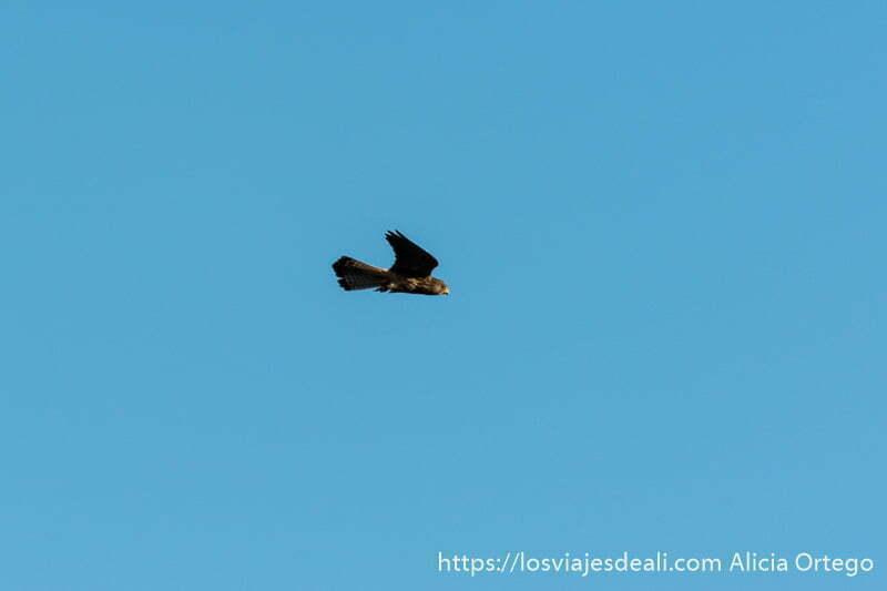 cernícalo primilla volando iluminado por el sol del atardecer en valencia de alcántara