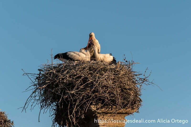 nido con tres cigüeñas la madre en el centro dando de comer a los polluelos con el pico en la escapada a cáceres