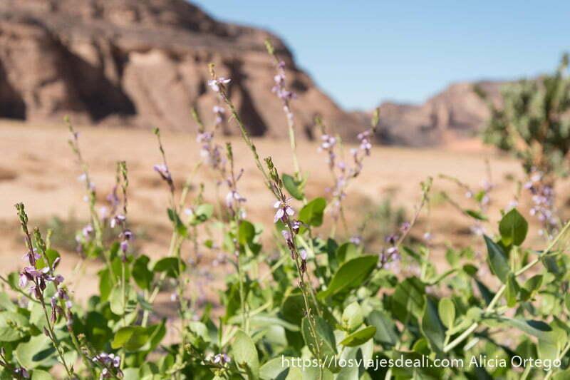 planta con flores pequeñas de color morado y paisaje del sahara detras