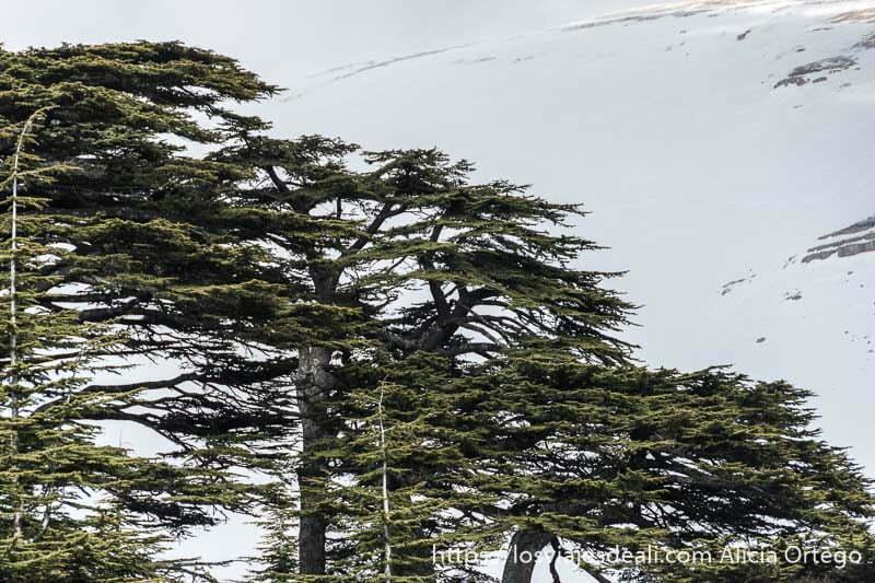 copas de cedros con ramas horizontales y campo nevado detrás en las montañas de líbano