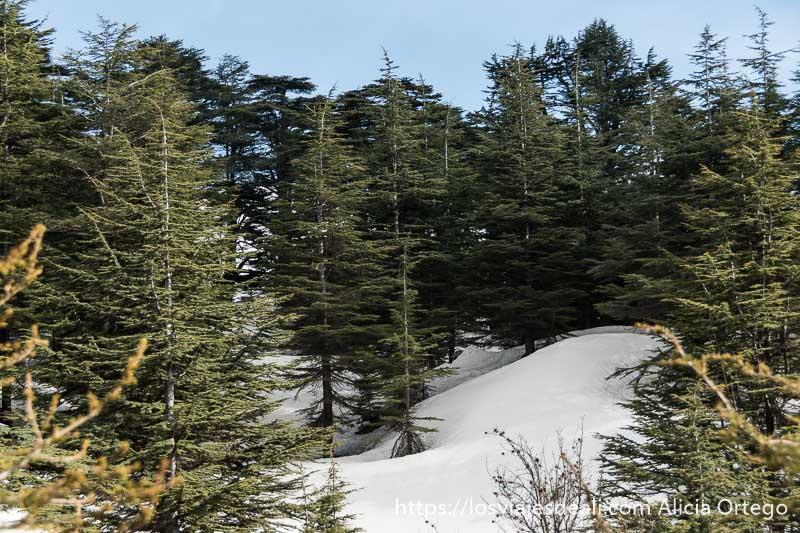 reserva de cedros de bcherri con nieve