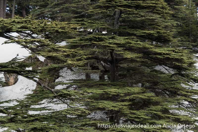 ramas de cedro horizontales en la reserva de bcherri