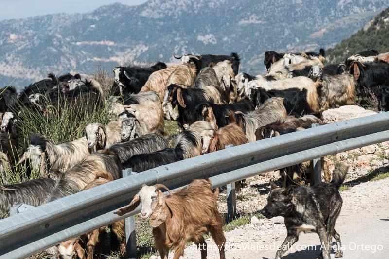 cabras con cuernos hacia atrás y grandes orejas junto a la carretera con las montañas de líbano detrás
