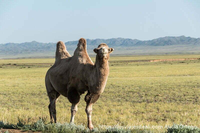 camello bactriano con dos jorobas mirando a la cámara en medio de la estepa de Mongolia