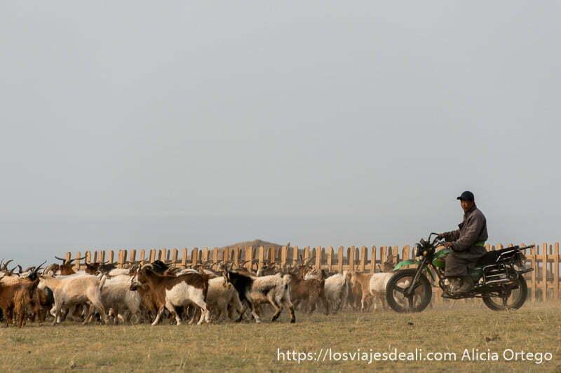 un pastor mongol confuce a sus cabras montado en su moto
