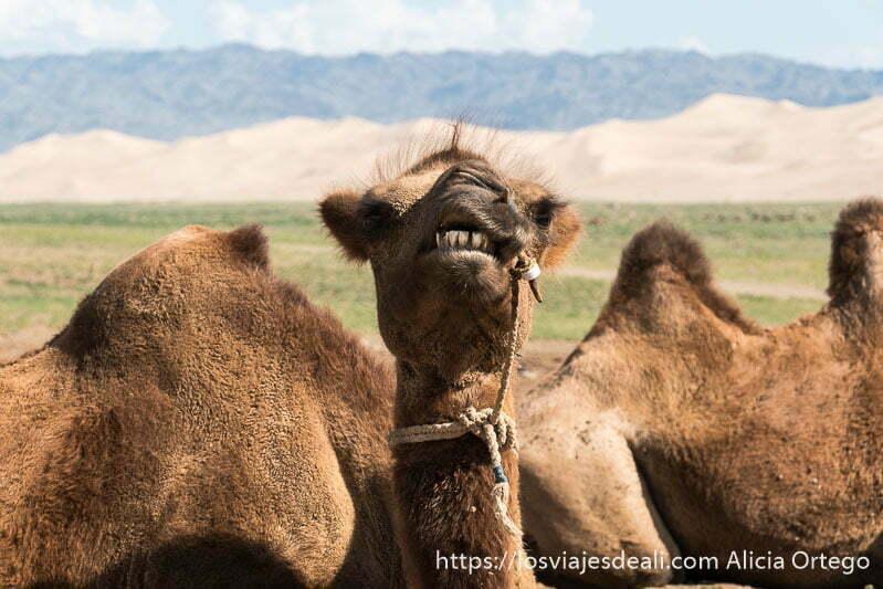 retrato de camello bactriano mirando de frente a la cámara con las dunas del desierto del gobi detrás