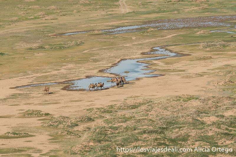 pequeño lago con un grupo de camellos en la orilla y arena y algo de hierba verde alrededor en el desierto del gobi