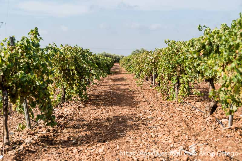 hilera de viñedos con tierra roja y cielo azul