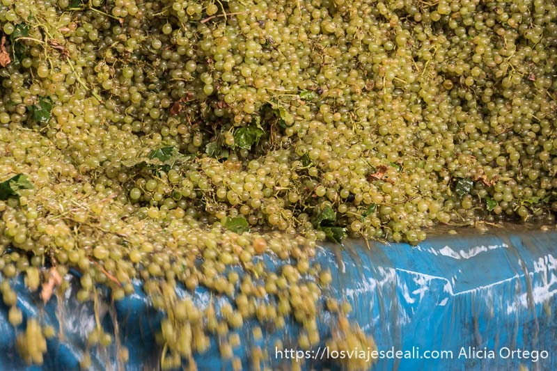 uvas blancas cayendo desde un remolque en la experiencia en la vendimia