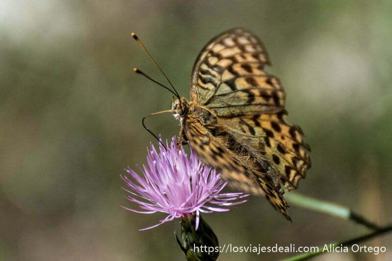 mariposa muy de cerca libando en flor de cardo de color malva escapada a albacete