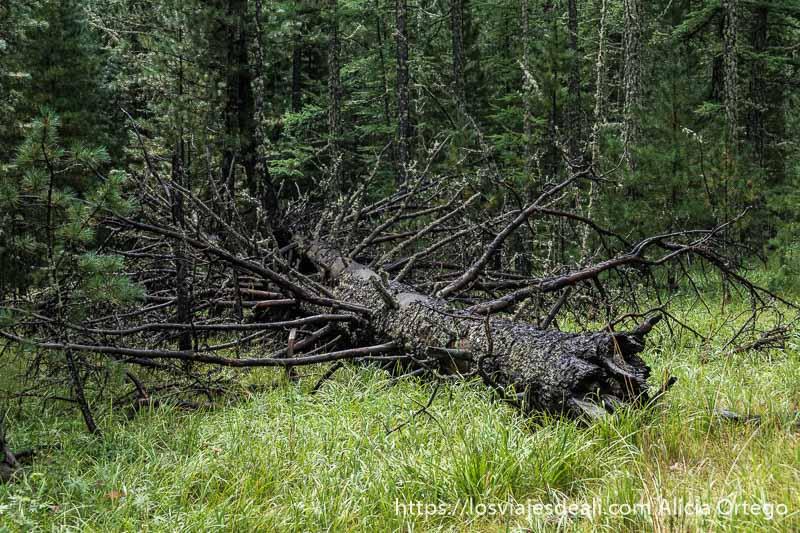 gran árbol caído enmedio del bosque del valle de orkhon