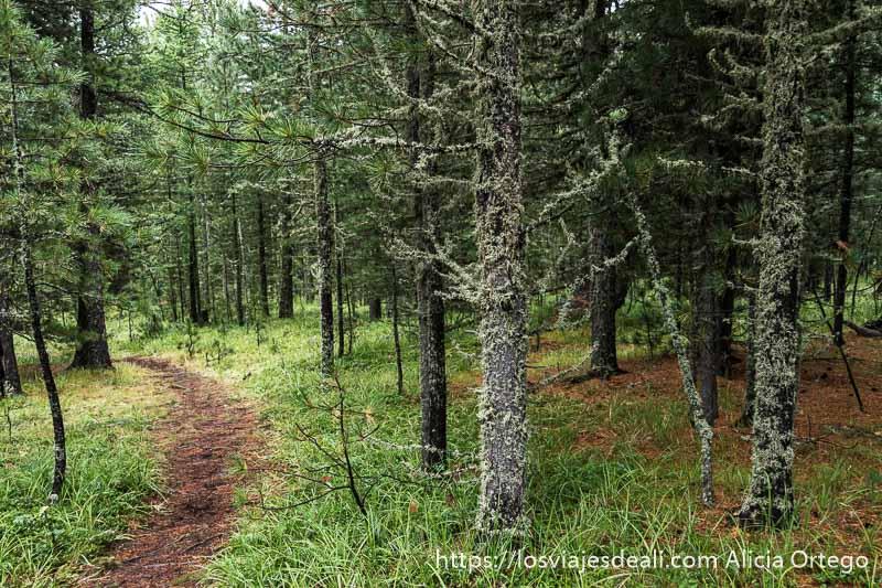 sendero entre árboles cubiertos de musgo en el valle de orkhon