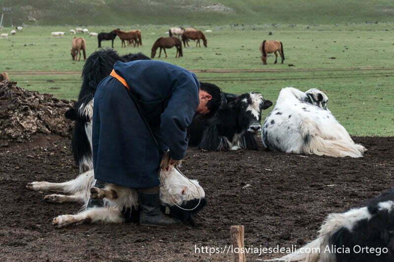 pastor mongol sosteniendo a vaca tumbada y caballos al fondo en el valle de orkhon