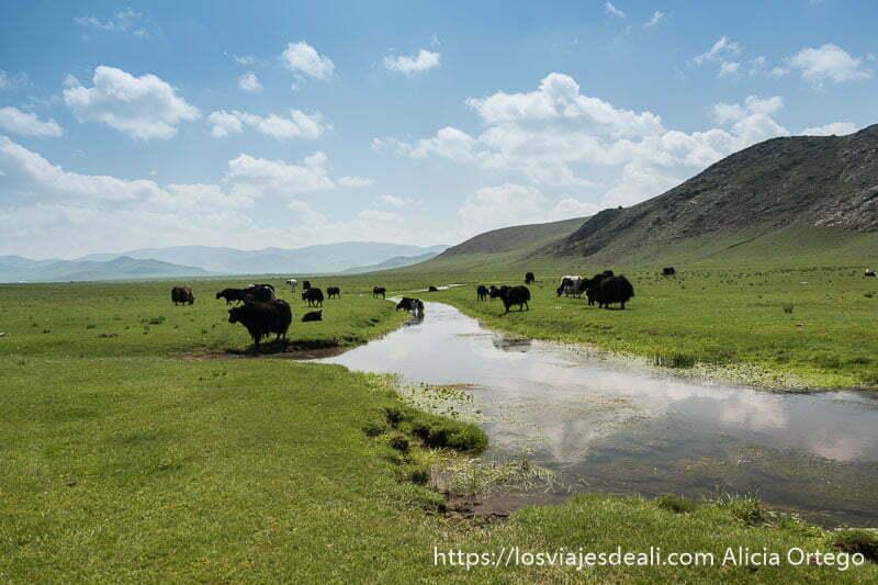 río con pradera y yacs en las orillas en la entrada al valle de orkhon