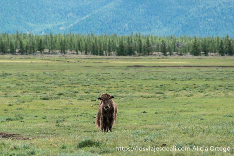 yak en un prado verde mirando a la cámara y detrás paisaje de pinos