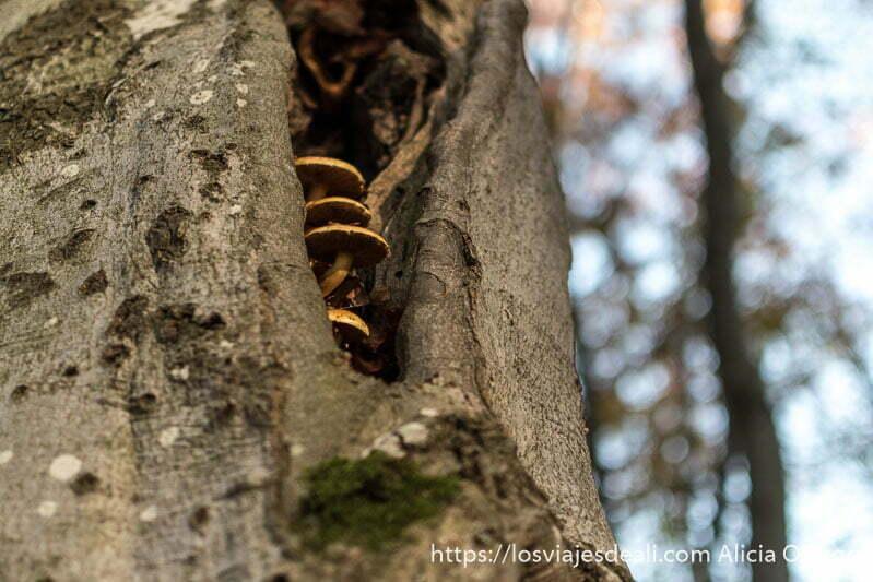 tronco con agujero en el que han salido cuatro hongos en fila vertical