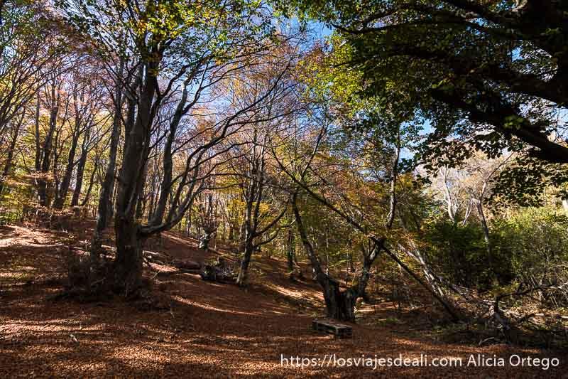 hayas con troncos retorcidos y un rayo de luz pasando por las hojas y suelo lleno de hojas rojizas caídas en el monte karandila