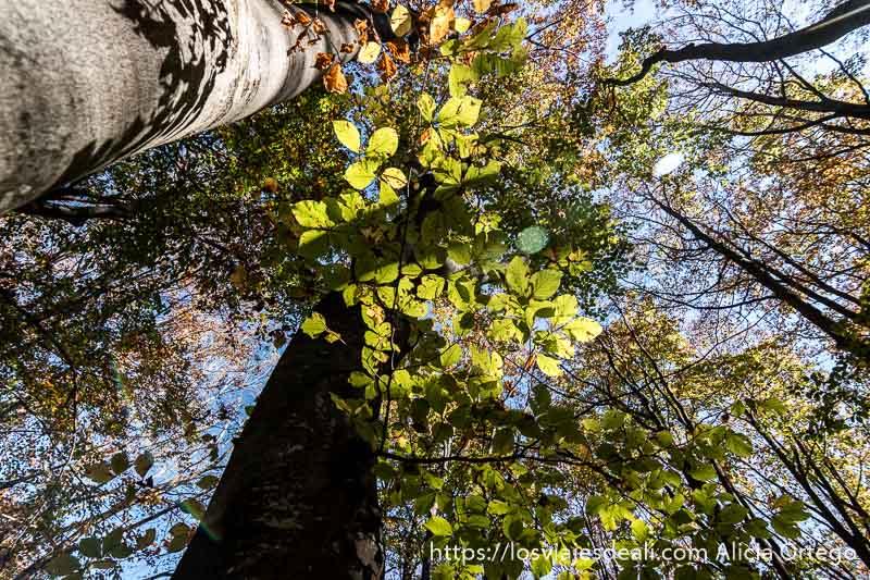 rama de hayas con hojas verdes amarillentas junto a grandes troncos visto desde abajo en sliven