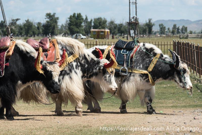 tres yacs de pelo blanco y negro con cuernos con funda de color rojo y flecos amarillos y sillas de montar