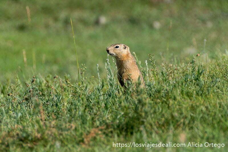 marmota erguida sobre las patas traseras mirando por encima de la hierba en mongolia central