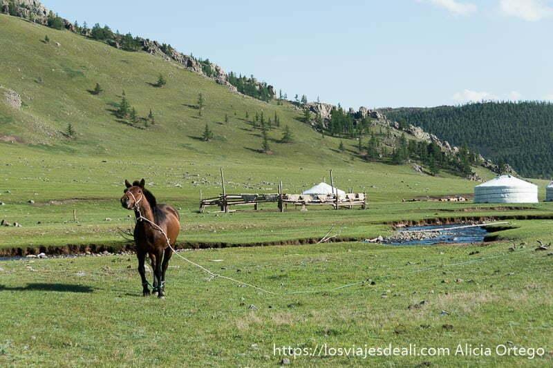 caballo atado levantando la cabeza hacia mi y detrás el río y dos tiendas de un campamento nómada en el valle de khorgo