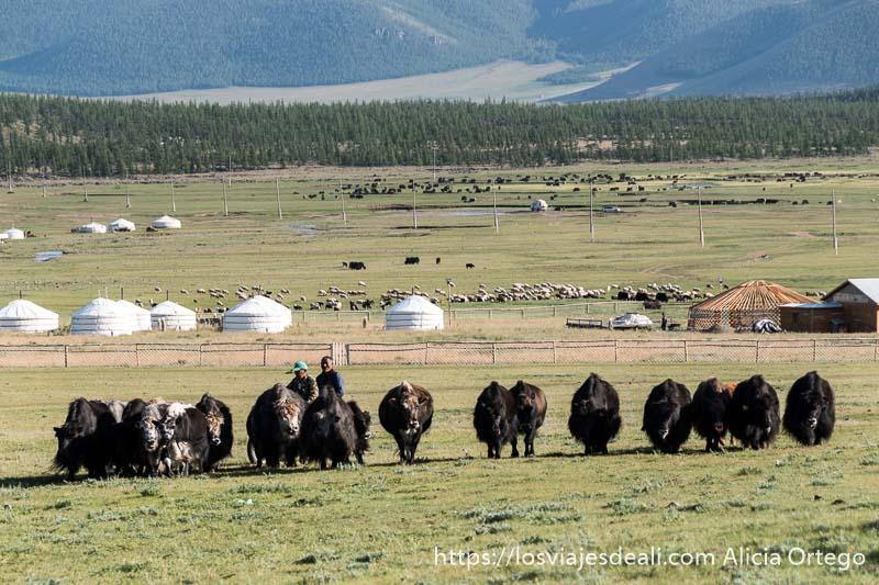 fila de yacs avanzando hacia mi y detrás campamento de gers y más allá pequeño bosque en las faldas del volcán de khorgo