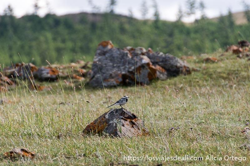 pajarillo de color gris y blanco sobre una roca en la hierba en un lugar de mongolia