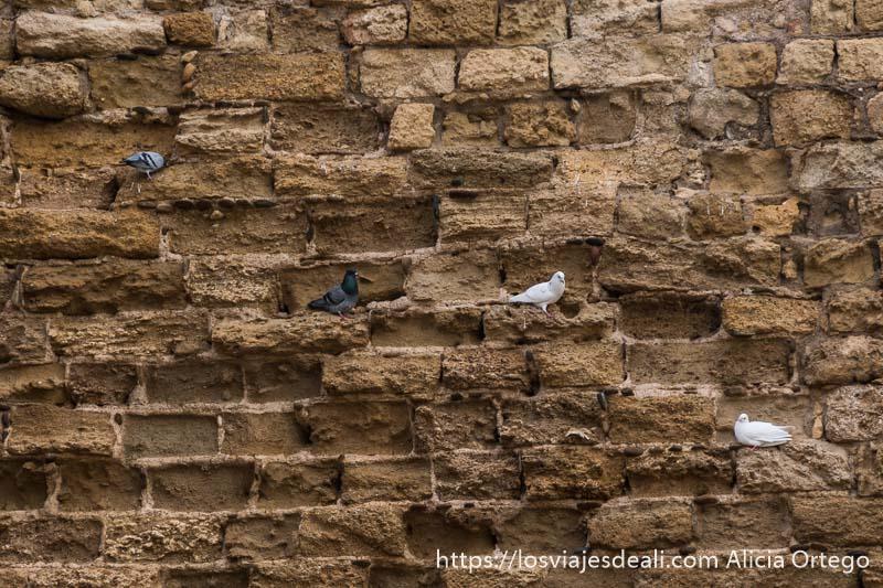 muralla de córdoba con cuatro palomas posadas entre los antiguos ladrillos