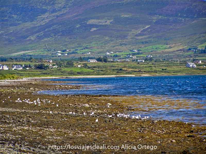 bahía con playa llena de algas y gaviotas y al fondo prados verdes con casas blancas en el ring of kerry